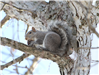 Gray Squirrel Russell